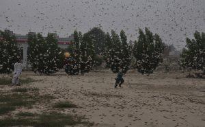 India's Second Plague: Locusts