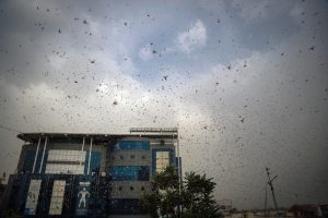 Swarms of Desert Locusts Threaten India's Summer Crops