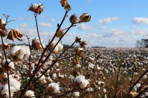 Kristian Lasslett on Uzbekistan's Cotton Clusters Conundrum