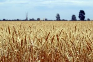 China's Trade Offensive Against Australia Continues with Ban on Wheat Imports