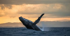 The Resilience of Japanese Whaling