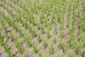 How Asia's Rice Producers Can Help Limit Global Warming