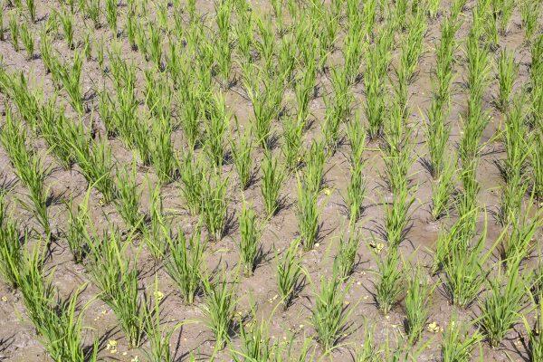 Cómo los productores de arroz de Asia pueden ayudar a limitar el calentamiento global – The Diplomat